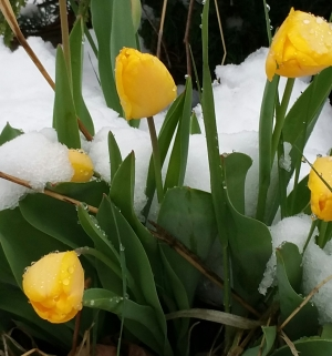 sun-blooms-in-snow-TLBRUCE-20150415